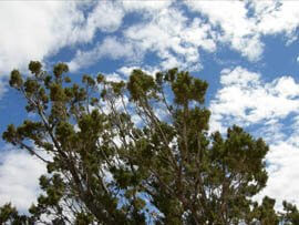 Juniper top branches, with sky above with clouds represents juniper reaching for the sky.