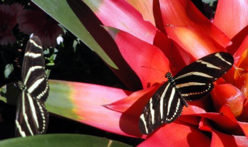 black and white zebra stripped butterflies on red flowers delight the eyes