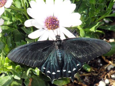 Black butterfly with wings outspread on a white flower