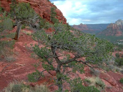 Junipers bent by the wind on red cliff in Sedona by Teresa Settles.