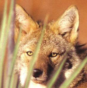 Coyote face: speaks of legends that when coyote crosses your path, or even more potently, looks you in the eye, you know things are going to change in unexpected ways.