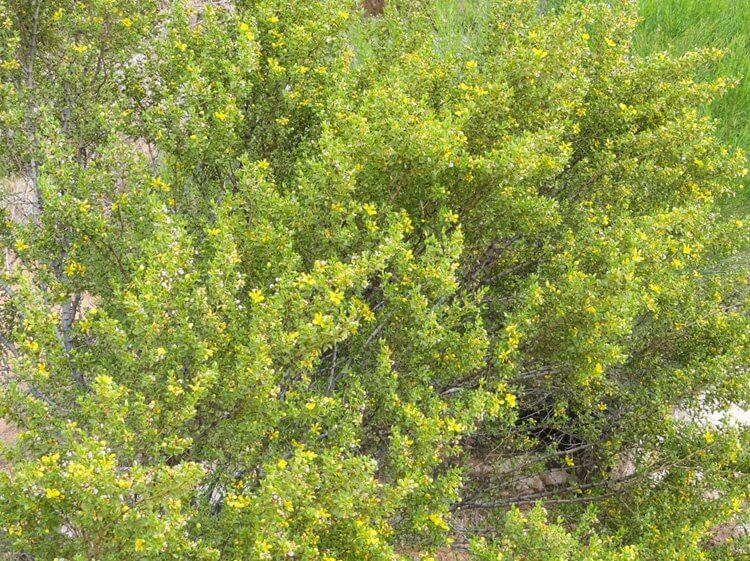 Creosote in bloom in Verde Valley, AZ after spring rains.