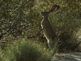 Jackrabbit standing next to creosote shrub shows how mammals have adapted to this shrub for habitat and food.
