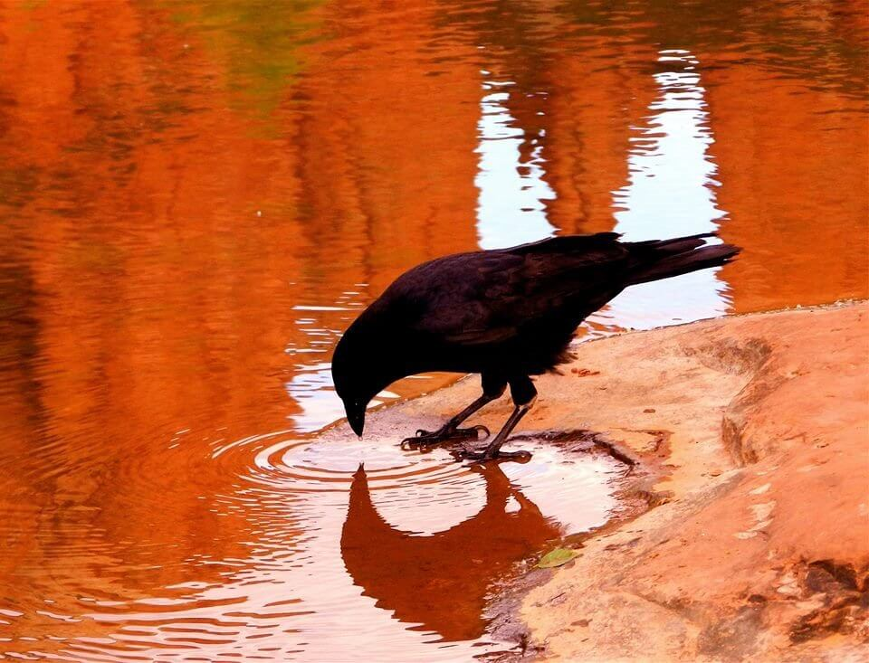 Crow drinking from creek with red rock reflections; symbolizes end of May Sedona mystic insight retreat