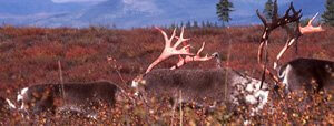 Migrating bull caribou with bare antlers reddened by the velvet shedding process. I was utterly transfixed and in a state of ecstasy, I felt my DNA was activated.