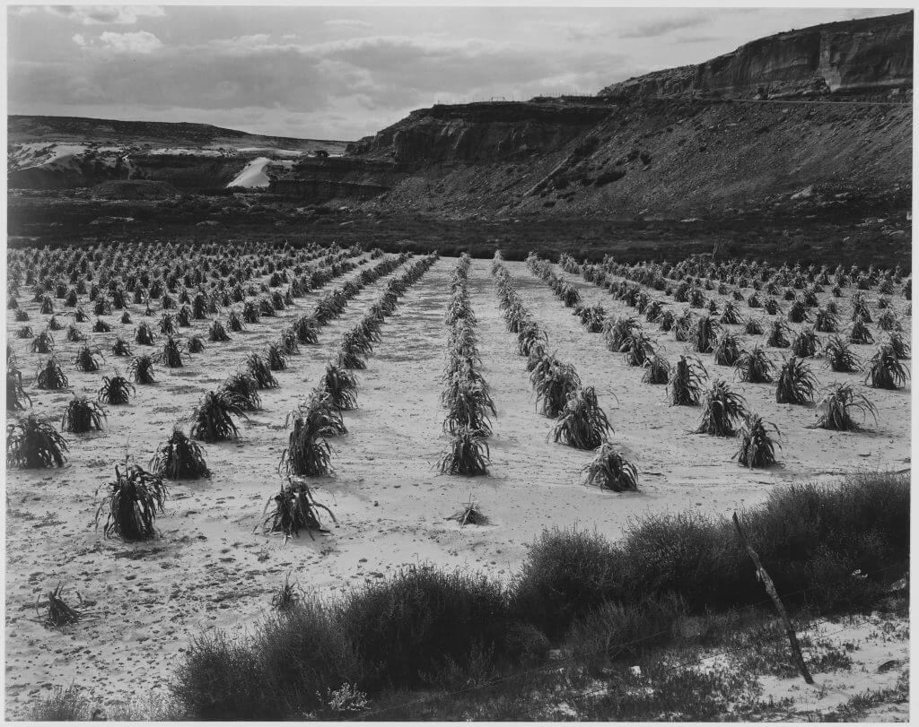 Historical photo of a dry farmed Hopi corn field symbolizing the need to call on kachina supernatural for assistance to bring the moisture needed to grow the corn.