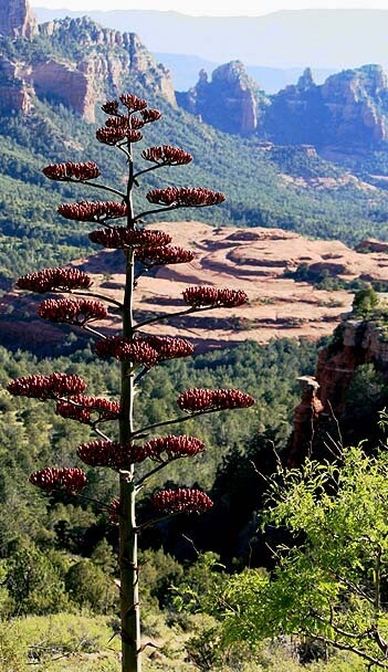 Tall Agave in flower with Bear Wallow Canyon in background. Represents Discover Sedona Circle information on the native plants, animal and geology of the Sedona area.